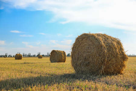 Round rolled hay bales in agricultural field on sunny day Standard-Bild