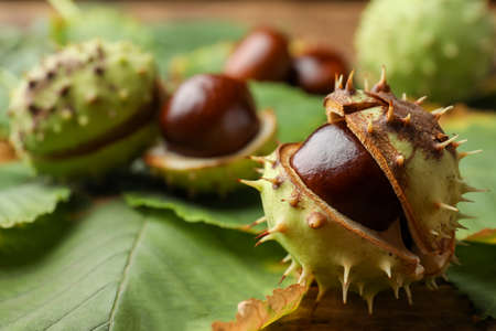 Horse chestnut in husk and leaves on wooden table, closeup