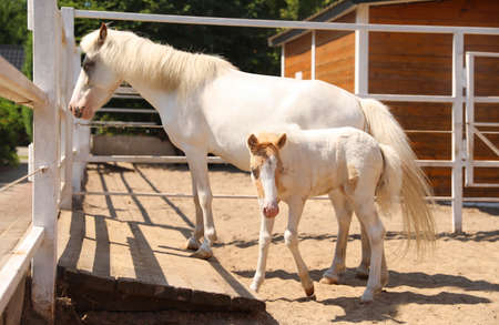 White horse with foal in paddock on sunny day. Beautiful pets 免版税图像
