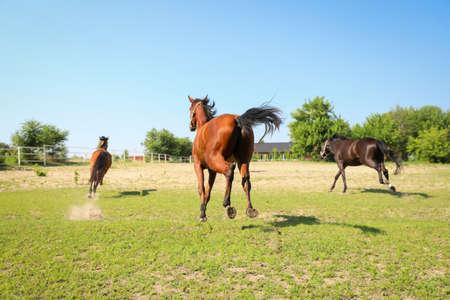 Bay horses in paddock on sunny day. Beautiful pets 免版税图像