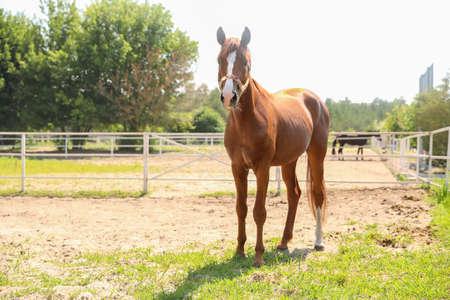 Chestnut horse in paddock on sunny day. Beautiful pet 免版税图像