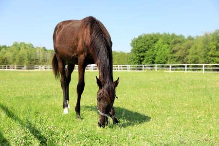 Dark bay horse in paddock on sunny day. Beautiful pet