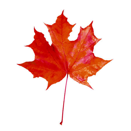 Beautiful red maple leaf isolated on white. Autumn season