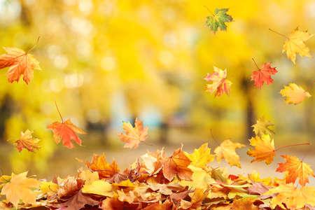 Autumn season. Beautiful leaves falling in park