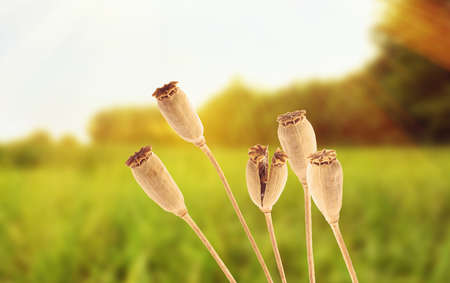 Dry poppy heads with seeds in field on sunny day, closeup