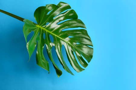 Beautiful monstera leaf on light blue background. Tropical plant Stock Photo