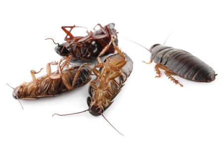 Many cockroaches on white background. Pest control