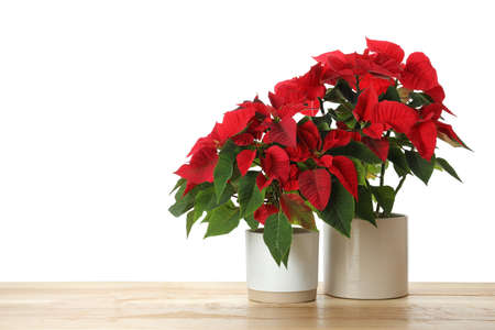 Red Poinsettia in pots on wooden table, space for text. Christmas traditional flower