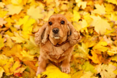 Cute Cocker Spaniel on colorful autumn leaves outdoors, above view