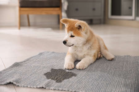 Adorable akita inu puppy near puddle on rug at home