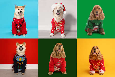 Cute dogs in Christmas sweaters on color backgrounds Stock Photo