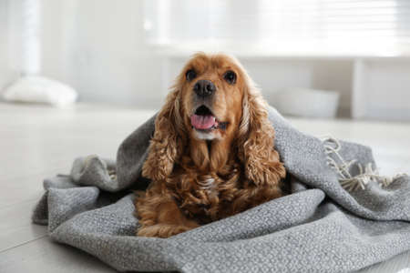 Cute English cocker spaniel dog with gray plaid on floor at home Stock Photo