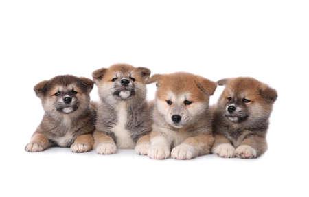 Adorable Akita Inu puppies on white background Archivio Fotografico