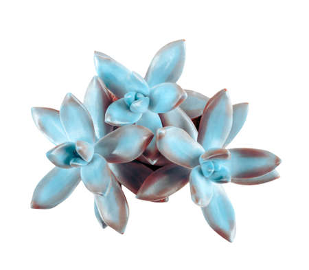Beautiful succulent plant on white background, top view Stock Photo