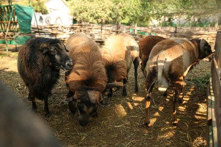 Beautiful brown sheep in yard. Farm animals