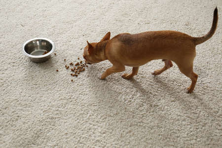 Adorable Chihuahua dog near feeding bowl on carpet indoors Imagens