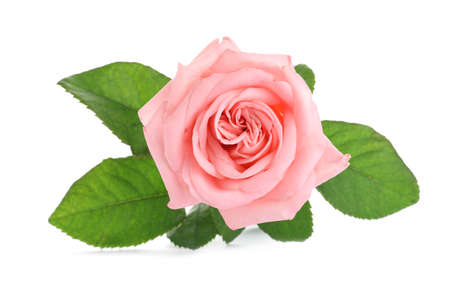 Blooming pink rose isolated on white. Beautiful flower Standard-Bild