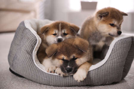 Adorable Akita Inu puppies in dog bed indoors