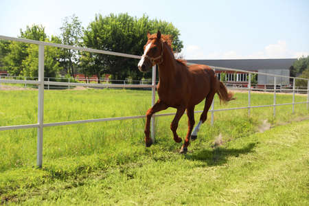 Chestnut horse in paddock on sunny day. Beautiful pet