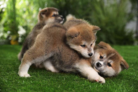 Adorable Akita Inu puppies on green grass outdoors