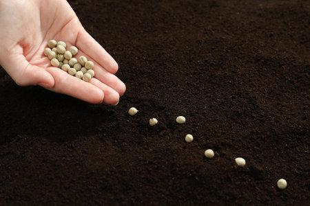 Woman planting soybeans into fertile soil, closeup. Vegetable seeds Reklamní fotografie