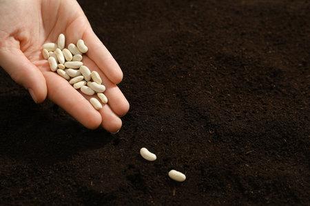 Woman planting beans into fertile soil, closeup. Vegetable seeds Reklamní fotografie