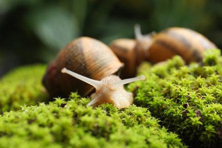Common garden snails crawling on green moss outdoors, closeup
