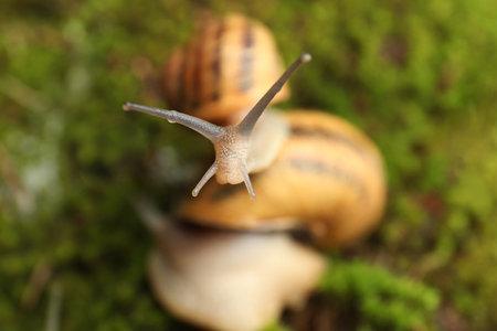 Common garden snails crawling on green moss, closeup Reklamní fotografie