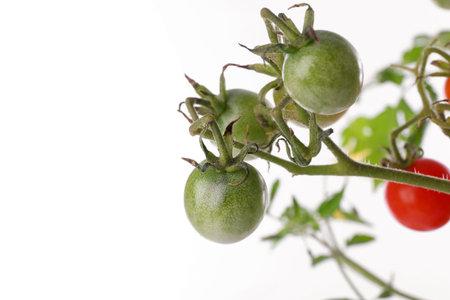 Tomato plant with unripe fruits on white background, closeup