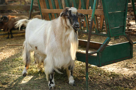 Beautiful white goat in yard. Farm animal