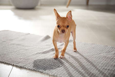 Cute Chihuahua puppy near wet spot on rug indoors. Space for text