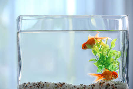 Beautiful bright goldfish in aquarium, closeup view