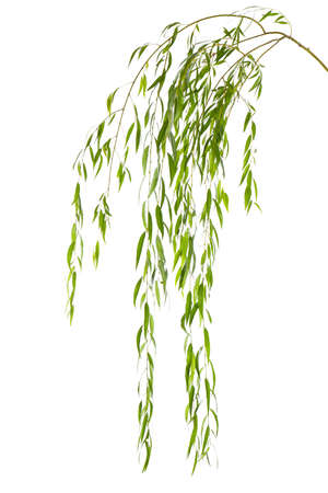 Beautiful willow tree branches with green leaves on white background Stock Photo