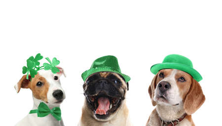 Cute dogs with leprechaun hats on white background. St. Patrick's Day