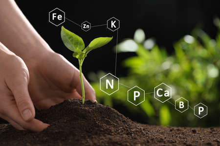 Mineral fertilizer. Woman planting young seedling into soil, closeup Banque d'images