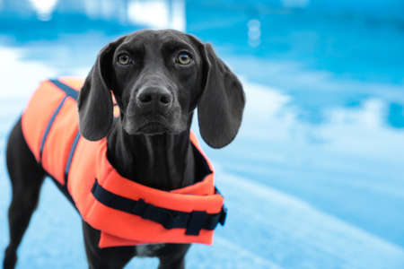 Dog rescuer wearing life vest in swimming pool outdoors, closeup Stock Photo