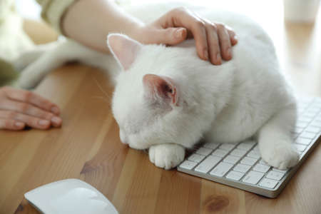 Adorable white cat lying on keyboard and distracting owner from work, closeup