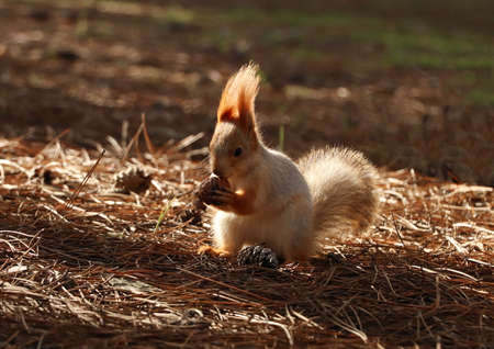 Cute red squirrel with walnut in forest