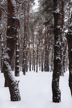 Picturesque view of beautiful forest covered with snow Reklamní fotografie