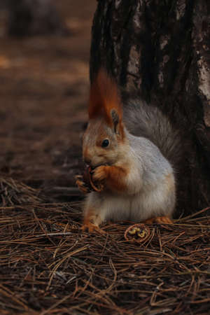 Cute red squirrel eating walnut near tree in forest