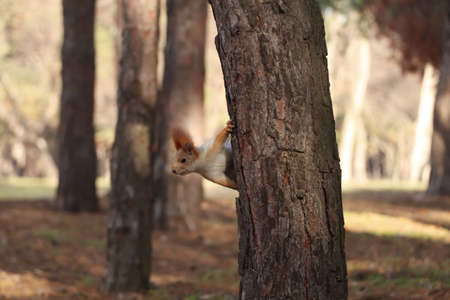 Cute red squirrel on tree in forest