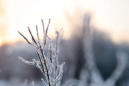 Dry plant covered with hoarfrost outdoors on winter morning, closeup. Space for text