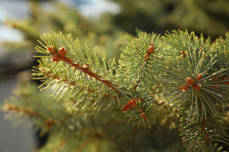 Beautiful view of fir tree branches, closeup