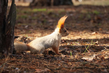 Cute red squirrel near tree in forest
