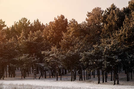 Beautiful view of snowy conifer forest on winter morning Reklamní fotografie