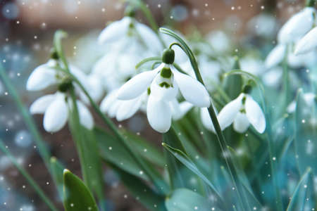 Beautiful snowdrops growing in garden, closeup. First spring flowers