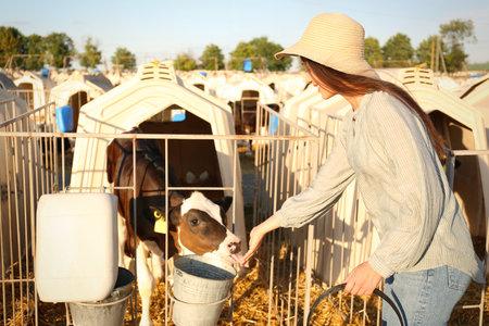 Young woman feeding cute little calf on farm. Animal husbandry 版權商用圖片