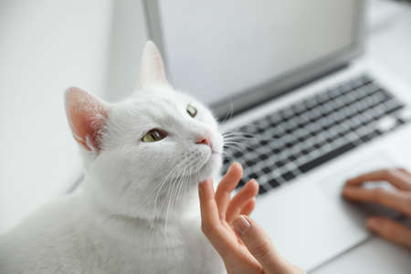 Adorable white cat distracting owner from work, closeup