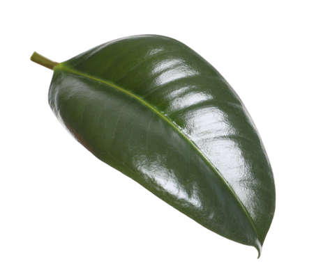 Fresh green leaf of Ficus elastica plant isolated on white Imagens
