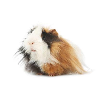 Adorable guinea pig on white background. Lovely pet Imagens